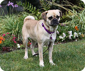 Pug/Beagle Mix Dog for adoption in Newport Beach, California - ALANA