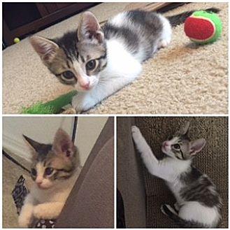 Domestic Shorthair Kitten for adoption in Mission Viejo, California - Mini
