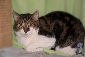 Domestic Shorthair/Domestic Shorthair Mix Cat for adoption in Fountain Hills, Arizona - Monet