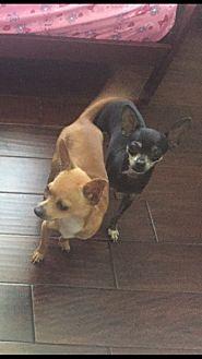 Chihuahua/Chihuahua Mix Dog for adoption in Grand Prairie, Texas - Junior and Bella