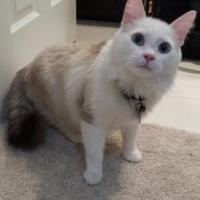 Ragdoll/Domestic Shorthair Mix Cat for adoption in Redmond, Washington - Frankie Goes to Hollywood