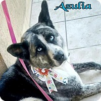 Adopt A Pet :: BlueEyes - Porter Ranch, CA