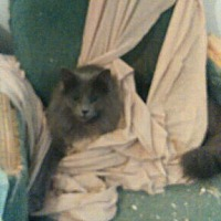 Adopt A Pet :: Peetie - Chapman Mills, Ottawa, ON
