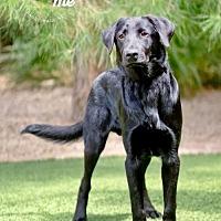 Adopt A Pet :: WILLIAM - Scottsdale, AZ