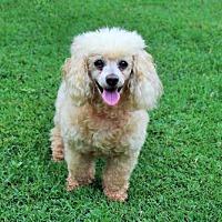 Adopt A Pet :: DARLA ROSE - Salem, NH