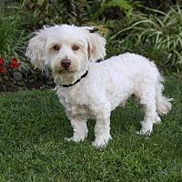 Adopt A Pet :: ANDREW - Newport Beach, CA