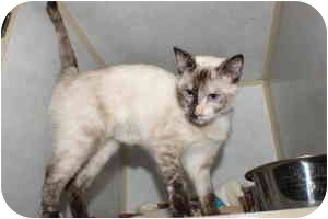 Siamese Cat for adoption in Stillwater, Oklahoma - Sarah