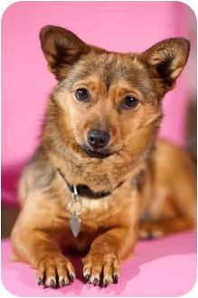 Corgi/Sheltie, Shetland Sheepdog Mix Dog for adoption in Portland, Oregon - Tulip