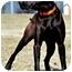 Photo 3 - Labrador Retriever Dog for adoption in Pawling, New York - WINSTON