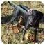Photo 1 - Doberman Pinscher Mix Dog for adoption in Somerset, Pennsylvania - Tammy