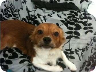 Corgi Mix Dog for adoption in Orland Park, Illinois - Lincoln