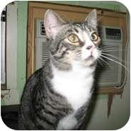 Domestic Shorthair Cat for adoption in Shelton, Washington - Darren
