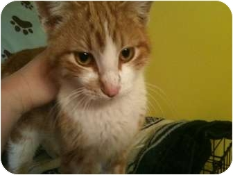 Domestic Shorthair Cat for adoption in ST LOUIS, Missouri - Chuck