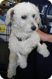 Miniature Poodle Mix Dog for adoption in Humble, Texas - Heidi