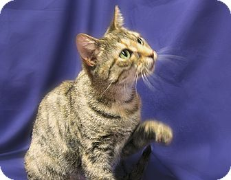 Domestic Shorthair Cat for adoption in Richmond, Virginia - April
