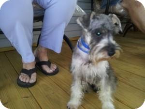 Schnauzer (Miniature) Mix Puppy for adoption in North Benton, Ohio - timon pup
