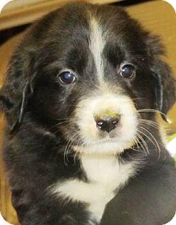 Border Collie Puppy for adoption in Oswego, Illinois - I'M ADPTD Pressley Knutson