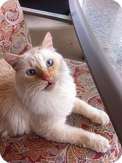 Ragdoll Cat for adoption in Daytona Beach, Florida - Moses