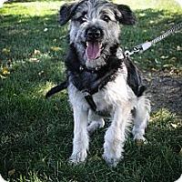 Adopt A Pet :: Bindi - Broomfield, CO