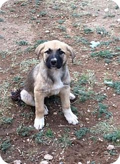 Shepherd (Unknown Type) Mix Puppy for adoption in Snyder, Texas - Sheba