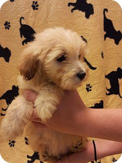 Shih Tzu/Terrier (Unknown Type, Small) Mix Puppy for adoption in Warwick, Rhode Island - Drea
