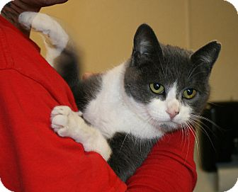 Domestic Shorthair Cat for adoption in Yucca Valley, California - Wreath Silver Flurry