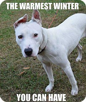 Dogo Argentino/American Staffordshire Terrier Mix Dog for adoption in Smithfield, North Carolina - Winter