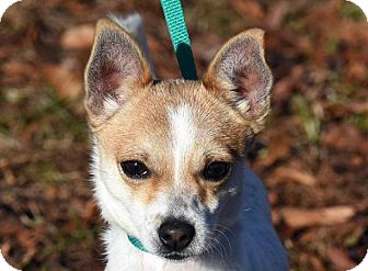Chihuahua/Jack Russell Terrier Mix Dog for adoption in New Haven, Connecticut - TINY