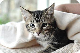 Domestic Mediumhair Kitten for adoption in Parkville, Missouri - Sheldon-KITTEN ADOPTION FEE $50 TIL 9-1-14