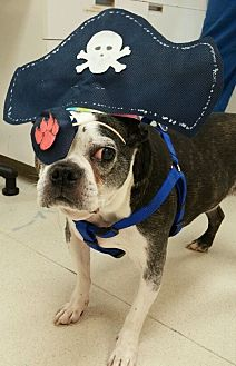Boston Terrier Dog for adoption in Jackson, Tennessee - Stevie