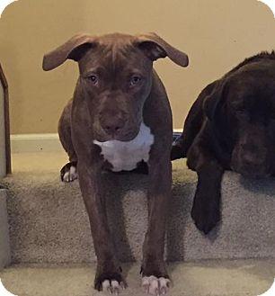Staffordshire Bull Terrier Mix Dog for adoption in Villa Park, Illinois - Hans