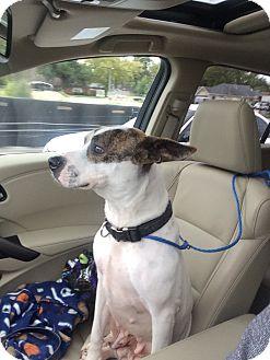 "Terrier (Unknown Type, Medium) Mix Dog for adoption in Littleton, Colorado - CHINA ""Mrs. Yoda"""
