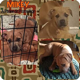 Pit Bull Terrier Mix Puppy for adoption in Baltimore, Maryland - Mikey