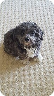 Poodle (Miniature) Dog for adoption in Maryville, Illinois - Poppy