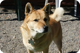 Jindo Dog for adoption in Los Angeles, California - Coco