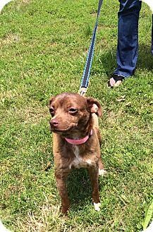Chihuahua Mix Dog for adoption in Arlington, Tennessee - Joleen