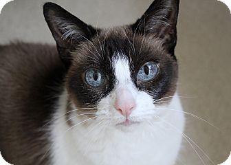 Siamese Cat for adoption in Chicago, Illinois - Bandita
