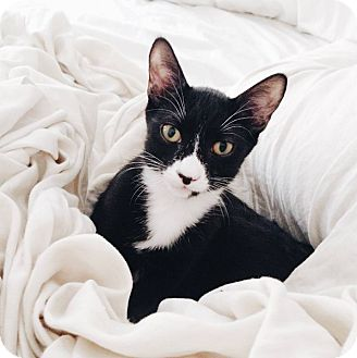 Domestic Shorthair Kitten for adoption in New York, New York - Cayman the Cuddle Bug!