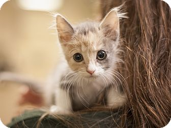 Domestic Shorthair Kitten for adoption in Dallas, Texas - Meadow