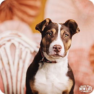 Australian Cattle Dog/Australian Shepherd Mix Puppy for adoption in Portland, Oregon - Tessa