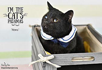 Domestic Shorthair Cat for adoption in Wayne, Pennsylvania - Atomic