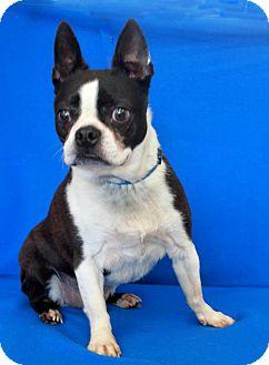 Boston Terrier Dog for adoption in Wichita, Kansas - Lucky
