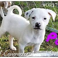 Adopt A Pet :: Pom - Commerce, TX