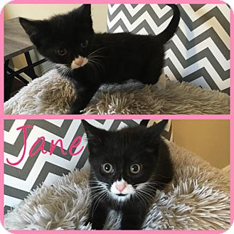 Domestic Shorthair Kitten for adoption in Covington, Kentucky - Jane