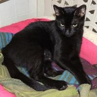 Domestic Shorthair/Domestic Shorthair Mix Cat for adoption in Westville, Indiana - Opal