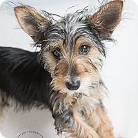 Adopt A Pet :: Rosie - Inglewood, CA