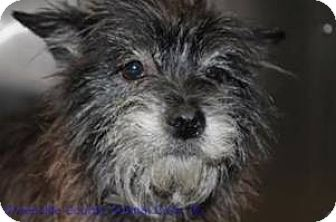 Cairn Terrier Dog for adoption in Anderson, South Carolina - Dixie