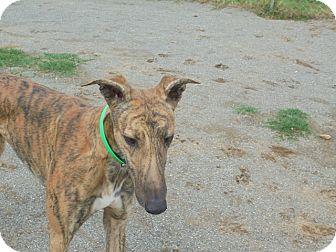 Greyhound Dog for adoption in Roanoke, Virginia - Fox