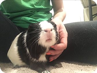 Guinea Pig for adoption in Chesapeake, Virginia - Klondike