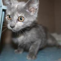 Domestic Shorthair/Domestic Shorthair Mix Cat for adoption in Russellville, Kentucky - Millie